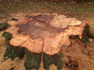 Rörsjöparken Sjuka träd Stubbe